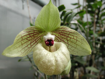 A puffy lipped orchid